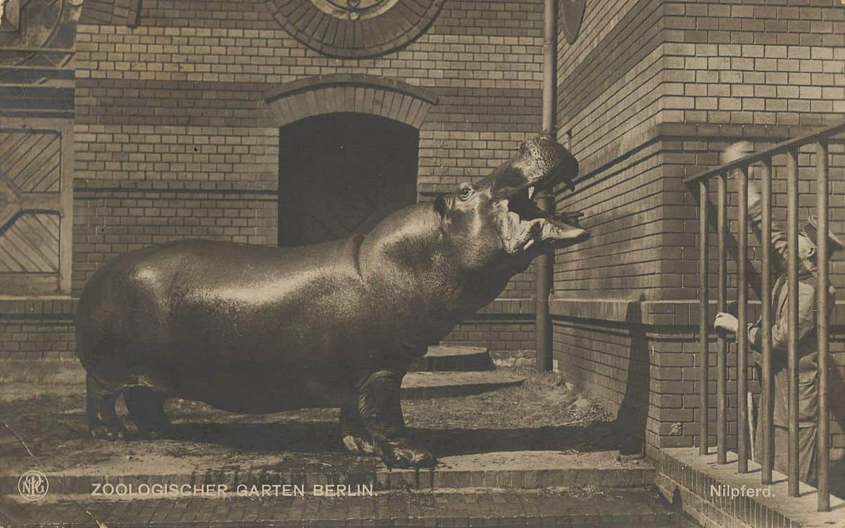 Historical Trivia  and Curiosity Trails Knautschke-the-hippo.-berlin-zoo